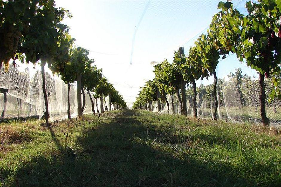Rutherglen-Vines